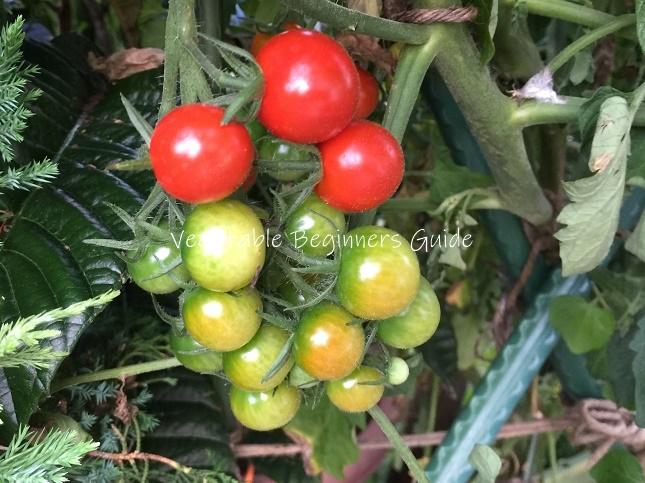 ミニ トマト 栽培 方法