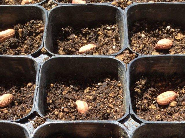 植え付け 落花生 落花生の栽培方法・育て方【大粒はおおまさり! 芽出しと種の作り方】