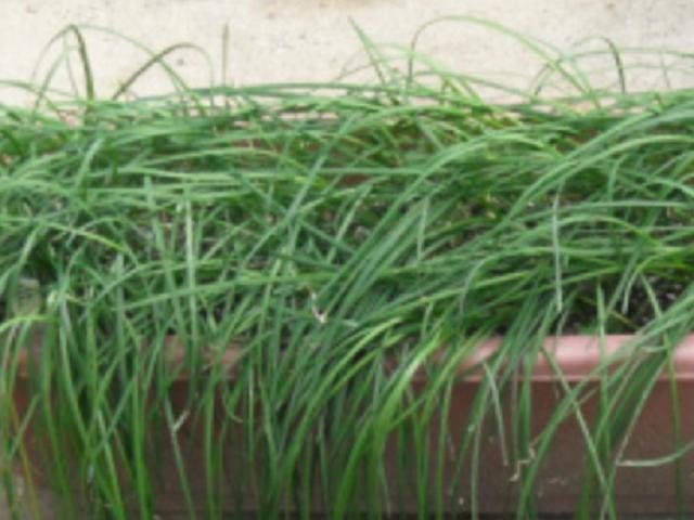 エシャレットの収穫方法